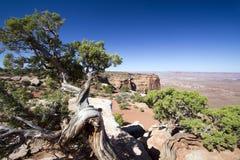 jałowcowy juniperus osteosperma drzewo Utah obraz stock