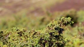 jałowcowy krzak i jagody podczas delikatnego wiatru w świetle słonecznym, jesień, Scotland zdjęcie wideo