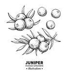 Jałowcowy wektorowy rysunek Odosobniona rocznik ilustracja jagoda na gałąź Organicznie istotnego oleju grawerujący stylowy nakreś ilustracji
