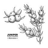 Jałowcowy wektorowy rysunek Odosobniona rocznik ilustracja jagoda na gałąź Organicznie istotnego oleju grawerujący stylowy nakreś royalty ilustracja