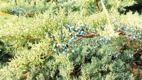 Jałowiec gałąź z jagodami, zbliżenie zbiory