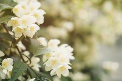 Jaśminów kwiaty kwitnie w pogodnym letnim dniu fotografia stock