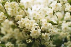 Jaśminów kwiaty kwitnie w pogodnym letnim dniu fotografia royalty free