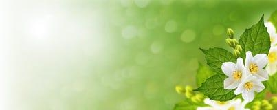 jaśmin gałęziaści delikatni wiosna kwiaty obrazy royalty free