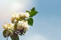 Jaśmin kwitnie w miękkich promieniach wiosny słońce przeciw niebieskiemu niebu Symbol kwiecenie początek wiosna, wiosna wakacje Fotografia Royalty Free