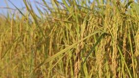Jaśminowe ryżowe rośliny w gospodarstwie rolnym zdjęcie wideo
