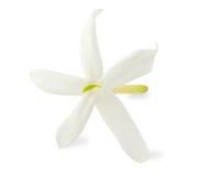 Jaśminowy kwiat Fotografia Royalty Free