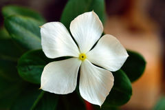 Jaśminowy kwiat Zdjęcie Stock