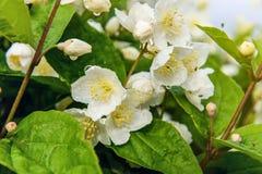 Jaśminowy kwiat Zdjęcie Royalty Free