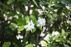 Jaśminowy kwiat północny Thailand kałuża obraz royalty free