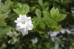 Jaśminowy kwiat północny Thailand kałuża zdjęcia stock