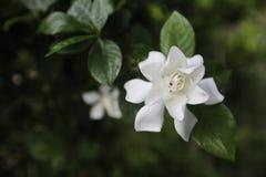 Jaśminowy kwiat północny Thailand kałuża obrazy royalty free