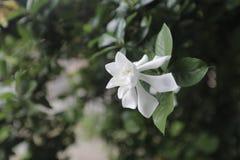 Jaśminowy kwiat północny Thailand kałuża zdjęcia royalty free