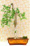 Jaśminowy pomarańczowy bonsai drzewo zdjęcie stock