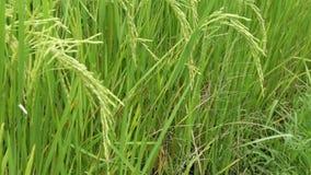 Jaśminowy Rice pole zdjęcie wideo