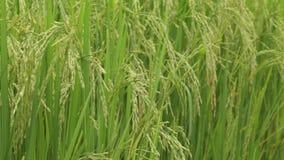 Jaśminowy ryżu pole w Thailand zbiory wideo