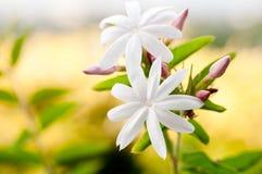 Jaśminowych kwiatów zamknięty up Fotografia Stock