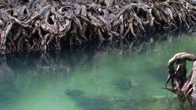 Jaśni zieleni strumieni przepływy przez namorzynowego lasu zakorzeniają Pośród ciemniutkiej i pięknej natury z bliska zbiory