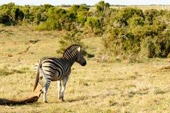 Ja drapam - Burchell zebra Obrazy Royalty Free