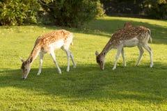 Ja jeleni łasowanie Obrazy Royalty Free