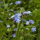 Ja jest małymi wildflowers błękitny kolor Centrum kwiat jest żółty Obrazy Stock