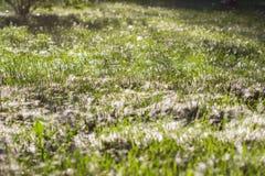 Ja jest mnóstwo Topolowym puszkiem w trawie Tło Zdjęcie Stock
