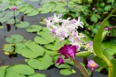 Ja jest pięknym kwiat menchii orchideą przy Czerwonym Lotosowym Spławowym Maket b obraz royalty free