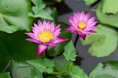 Ja jest pięknym kwiatu menchią Lotus przy Czerwonymi Lotosowymi Spławowymi Maket półdupkami obrazy stock