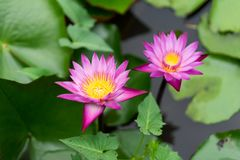 Ja jest pięknym kwiatu menchią Lotus przy Czerwonymi Lotosowymi Spławowymi Maket półdupkami zdjęcie stock
