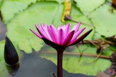 Ja jest pięknym kwiatu menchią Lotus przy Czerwonymi Lotosowymi Spławowymi Maket półdupkami fotografia royalty free