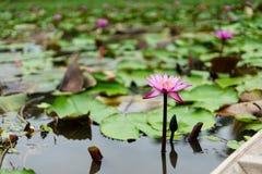 Ja jest pięknym kwiatu menchią Lotus przy Czerwonymi Lotosowymi Spławowymi Maket półdupkami zdjęcie royalty free