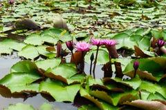 Ja jest pięknym kwiatu menchią Lotus przy Czerwonymi Lotosowymi Spławowymi Maket półdupkami zdjęcia royalty free