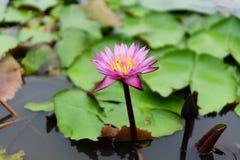 Ja jest pięknym kwiatu menchią Lotus przy Czerwonymi Lotosowymi Spławowymi Maket półdupkami obraz stock