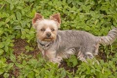 Ja jest wizerunkiem psi traken Yorkshire Terrier Obraz Royalty Free