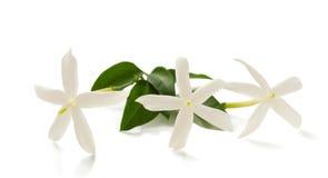 Jaśminowi kwiaty Fotografia Stock
