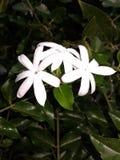 jaśminowy kwiat sri lanka Zdjęcia Royalty Free