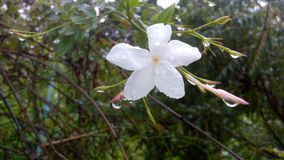 Jaśminu kwiat Zdjęcia Royalty Free