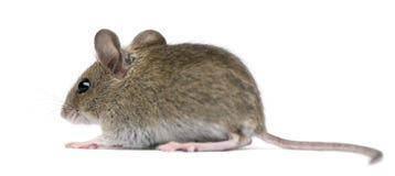 ja myszy bocznego widok drewno zdjęcie royalty free