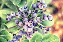 Jałowcowe jagody Obraz Stock