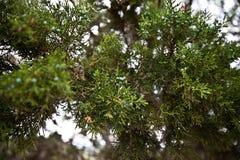 Jałowcowe jagody zdjęcie stock