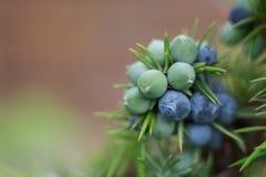 Jałowcowe jagody na krzaku Zdjęcie Royalty Free