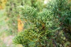 Jałowcowy drzewo W ogródzie Obrazy Stock
