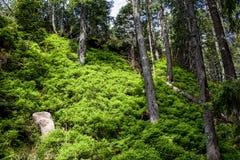 Jałowcowy las 01 Obrazy Stock