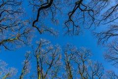 Jałowi drzewa w zima lesie Zdjęcia Stock