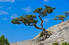Jałowiec na skale Zdjęcie Royalty Free
