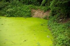 Jałowy staw i zielone algi Obrazy Stock