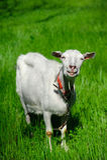 ja target3395_0_ kózka biel Obrazy Stock