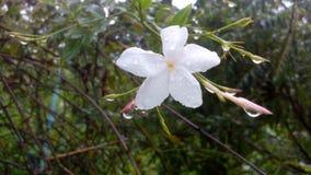 Jaaji-jasmijn bloem Royalty-vrije Stock Foto's