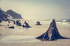 3000 jaar oude boomboomstammen op het strand na onweer Slowinski Nationaal Park, Oostzee, Polen Stock Afbeeldingen