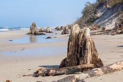 3000 jaar oude boomboomstammen op het strand na onweer Slowinski Nationaal Park, Oostzee, Polen Royalty-vrije Stock Afbeelding